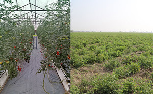 Tomatoes: A Model Crop of Solanaceous Plants