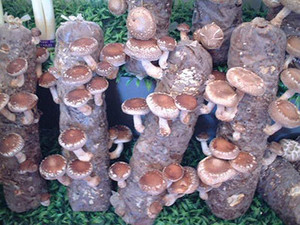 The Cultivation and Environmental Impact of Mushrooms
