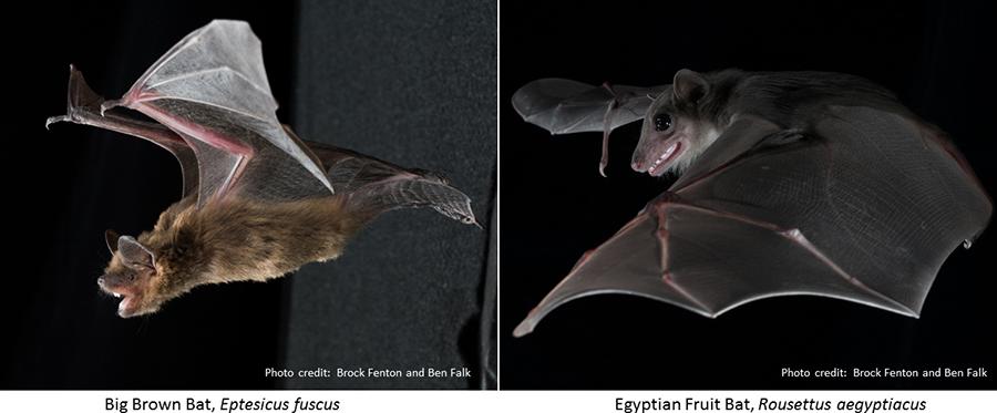 Auditory Mechanisms Of Echolocation In Bats Oxford Research Encyclopedia Neuroscience